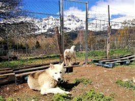 perros nórdicos mushing de Tena Park